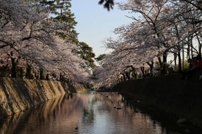 夙川の桜も満開です~◎